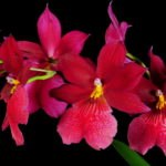 Фото: Orchids-amazing.at.ua